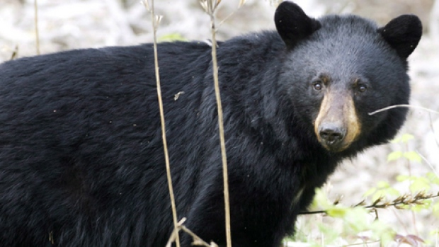 black bear research paper A review of multiple types of wildlife tourist attractions concluded that bile bear farms had the world population of asiatic black bears decreased.