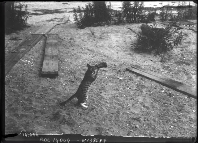 Cat Drinking From a Bottle and Looking Through a Telescope, 1911 (1)
