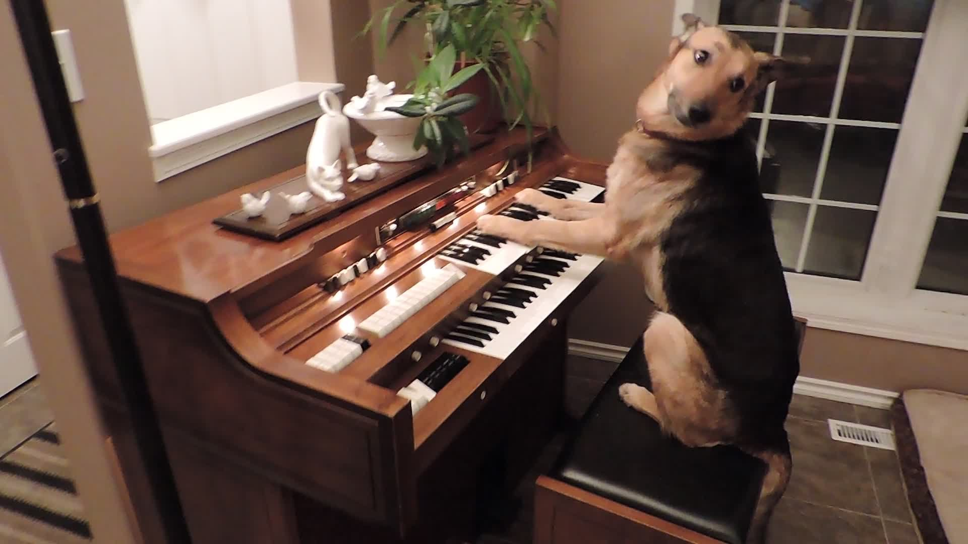 Rescue Dog Plays A Lovely Song On The Piano Then Takes A