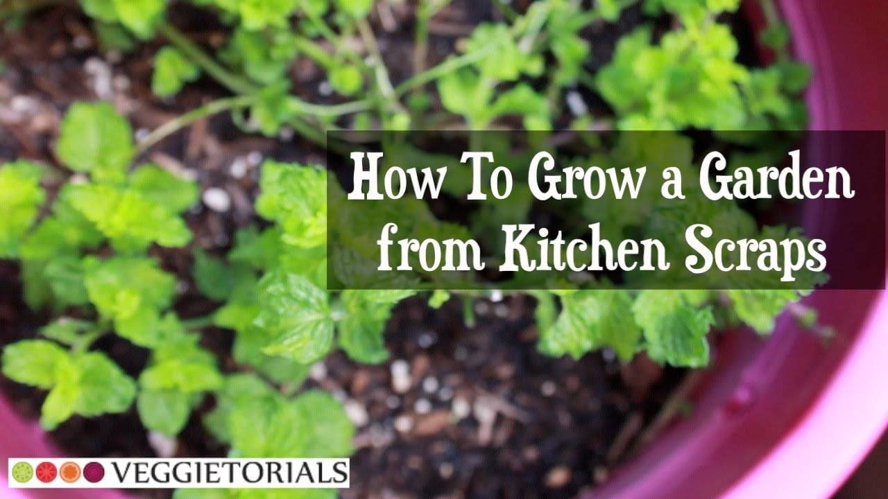 How-to Grow a Vegetable Garden from Kitchen Scraps - That ... Growing Vegetables From Scraps